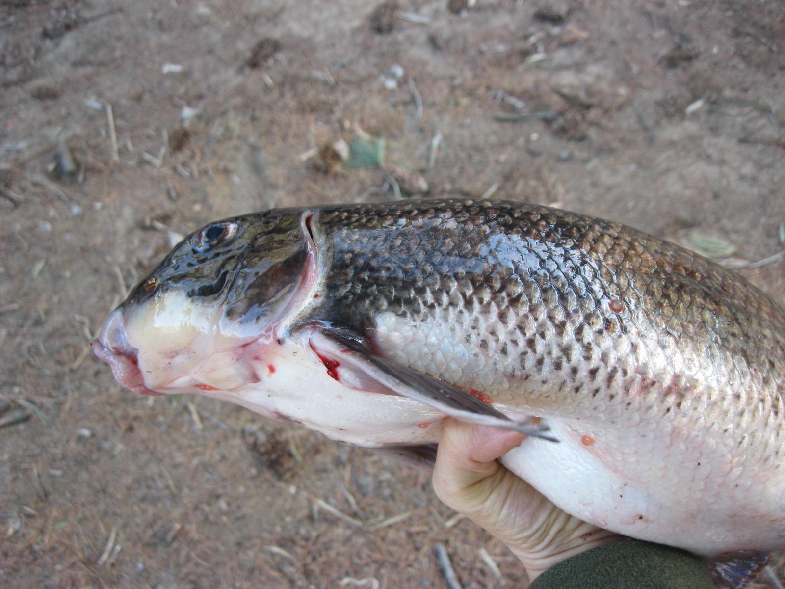 Drew Price Fly Fishing: White Suckers Can't Jump   Sucker Fish
