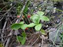 wildstrawberry.JPG